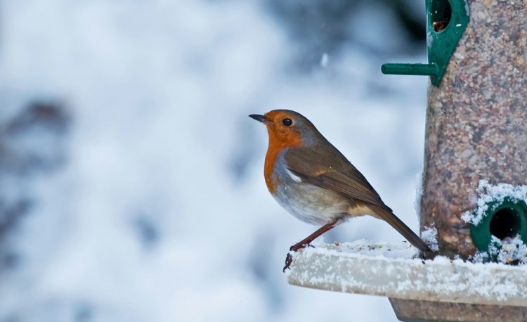 Robin at bird feeder in the snow